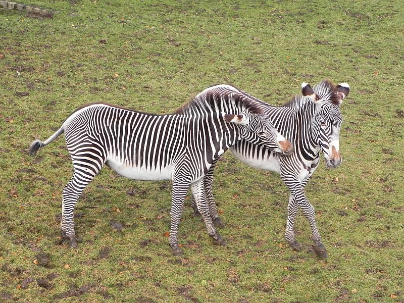 Edinburgh Zoo Zebra
