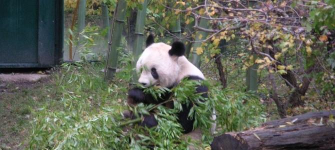 Für eine Handvoll Panda